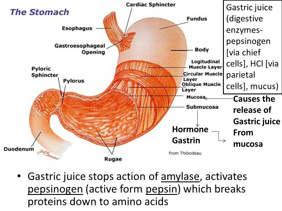 Gastric juice (digestive enzymes-pepsinogen [via chief cells], HCl [via parietal cells], mucus)